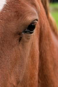 horse-crying